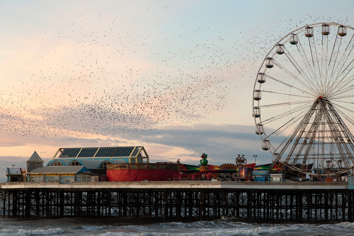 starlings-in-colour