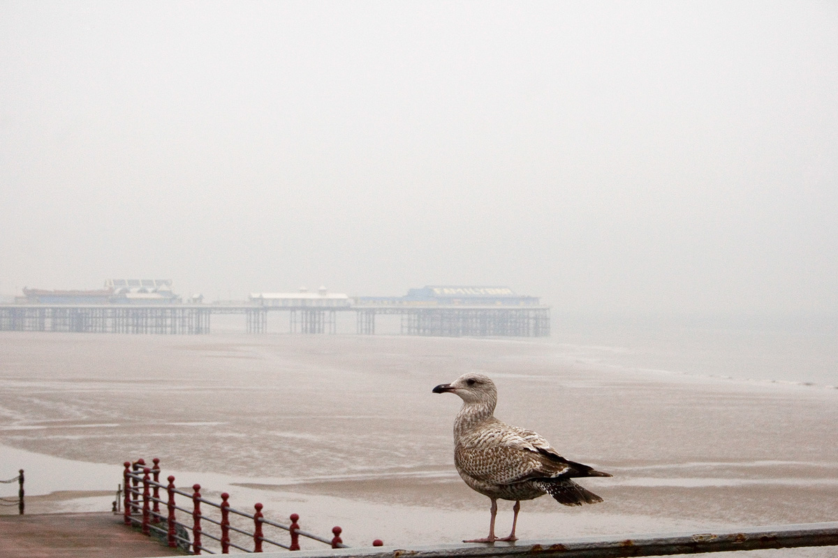 Blackpool Seagull By Yannick Dixon