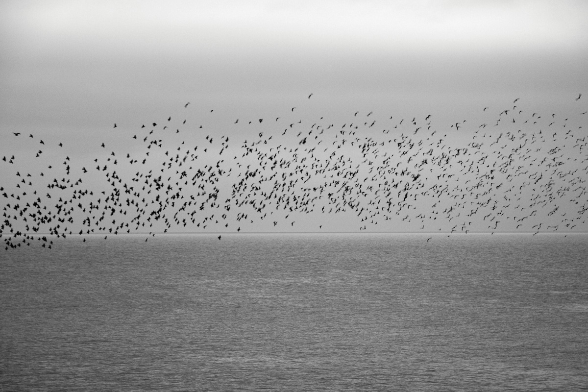 Starlings Above 2
