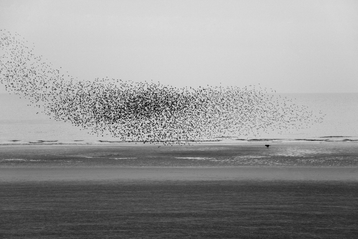 Murmuration of Starlings In Blackpool