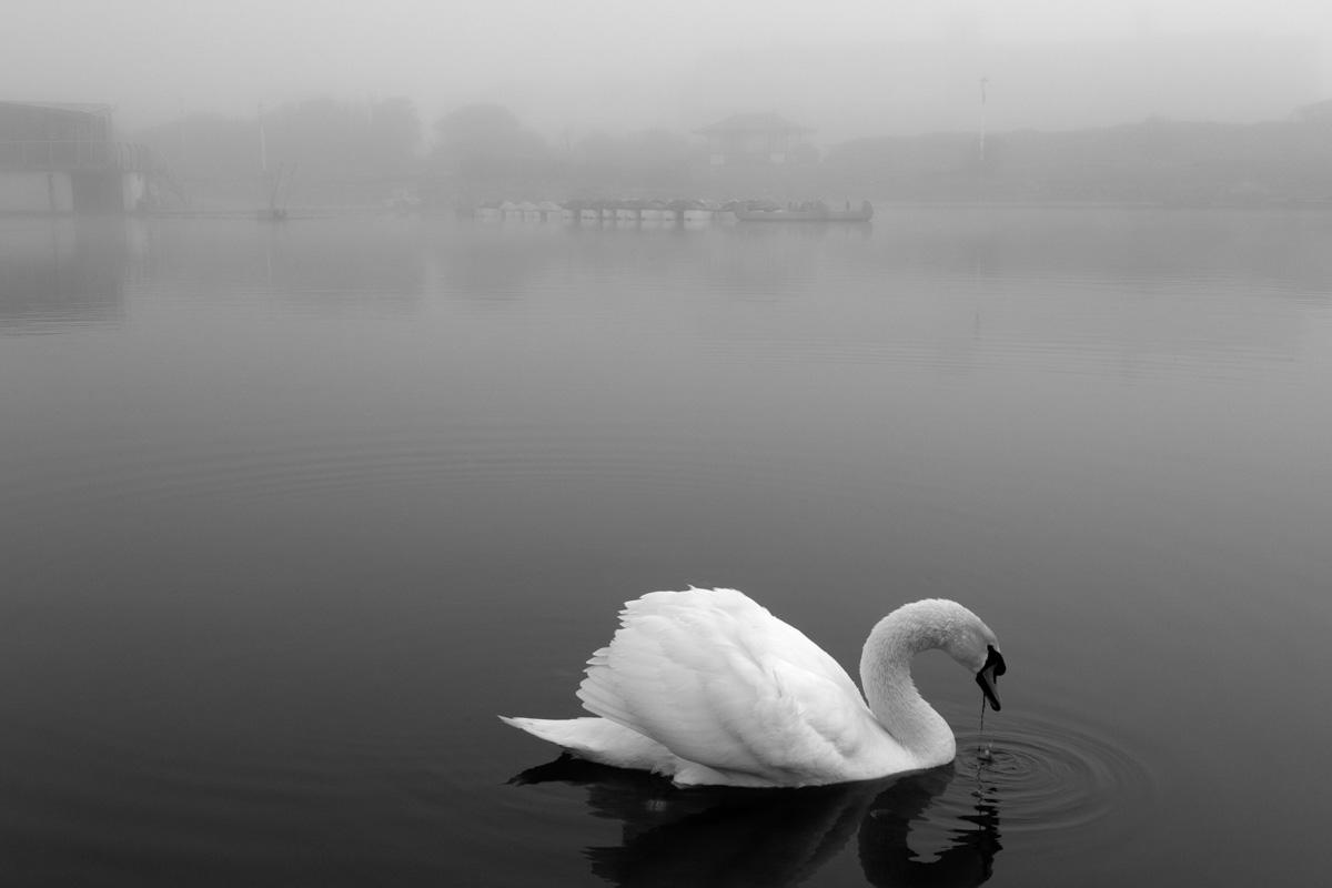 St Annes Swan By Yannick Dixon