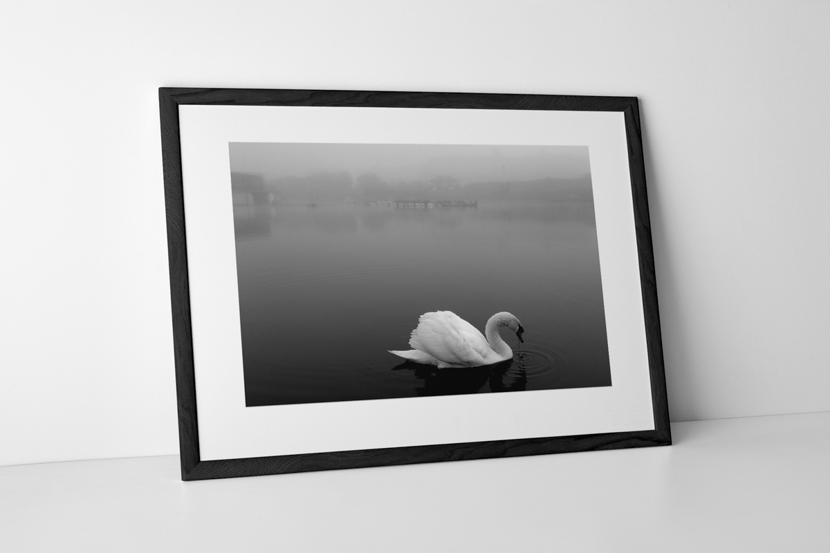 St Annes Swan Limited Edition Photographic Print Presented In A Black Frame