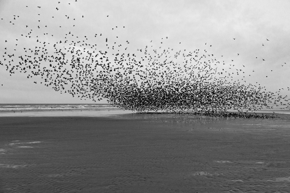 Starling Murmurations In Blackpool - Wildlife Photography By Yannick Dixon
