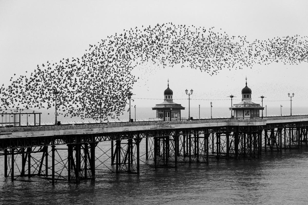 Murmuration of Starlings In Blackpool