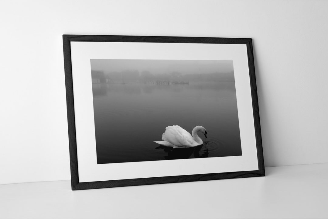 Swan Photographic Print In Black Frame By Yannick Dixon