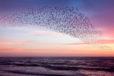 Starlings Purple Sky Print #2