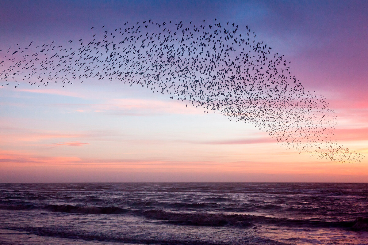 Starlings Purple Sky Print #2 By Yannick Dixon