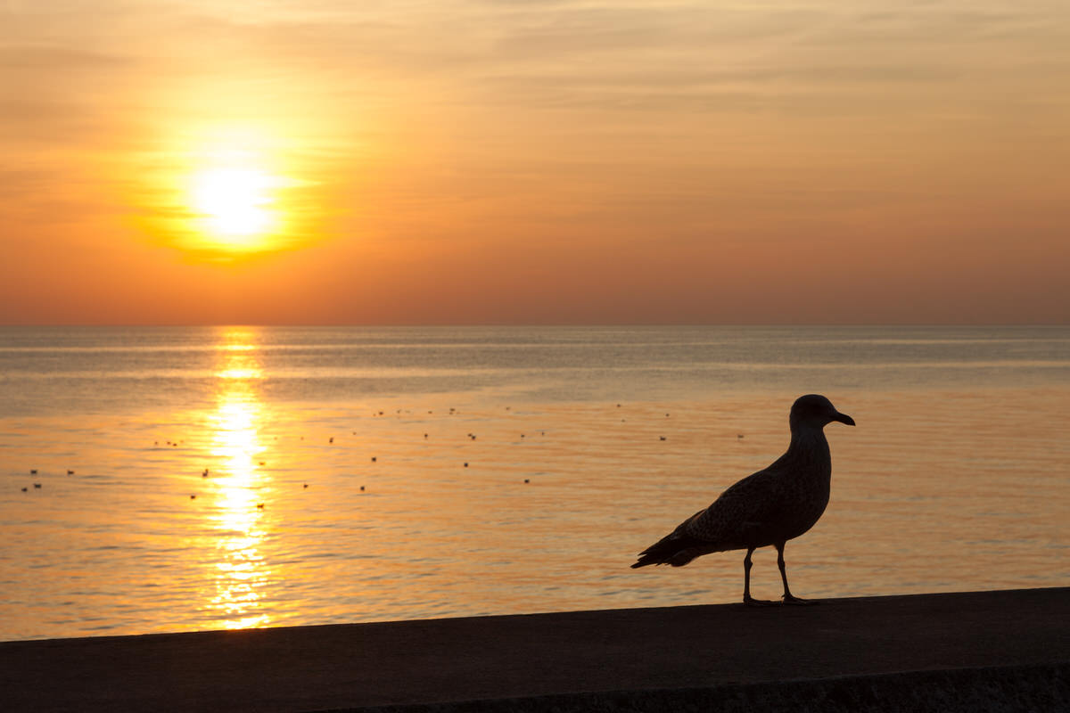 Sunset Seagull - Ornithology Series - Bird Photography By Yannick Dixon
