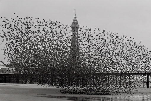 Murmuration of Starlings Print By Yannick Dixon