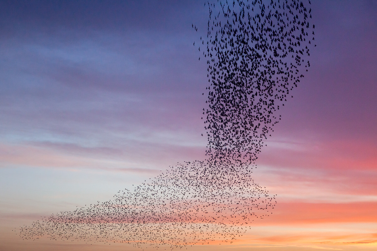 Starlings Purple Sky Print By Yannick Dixon