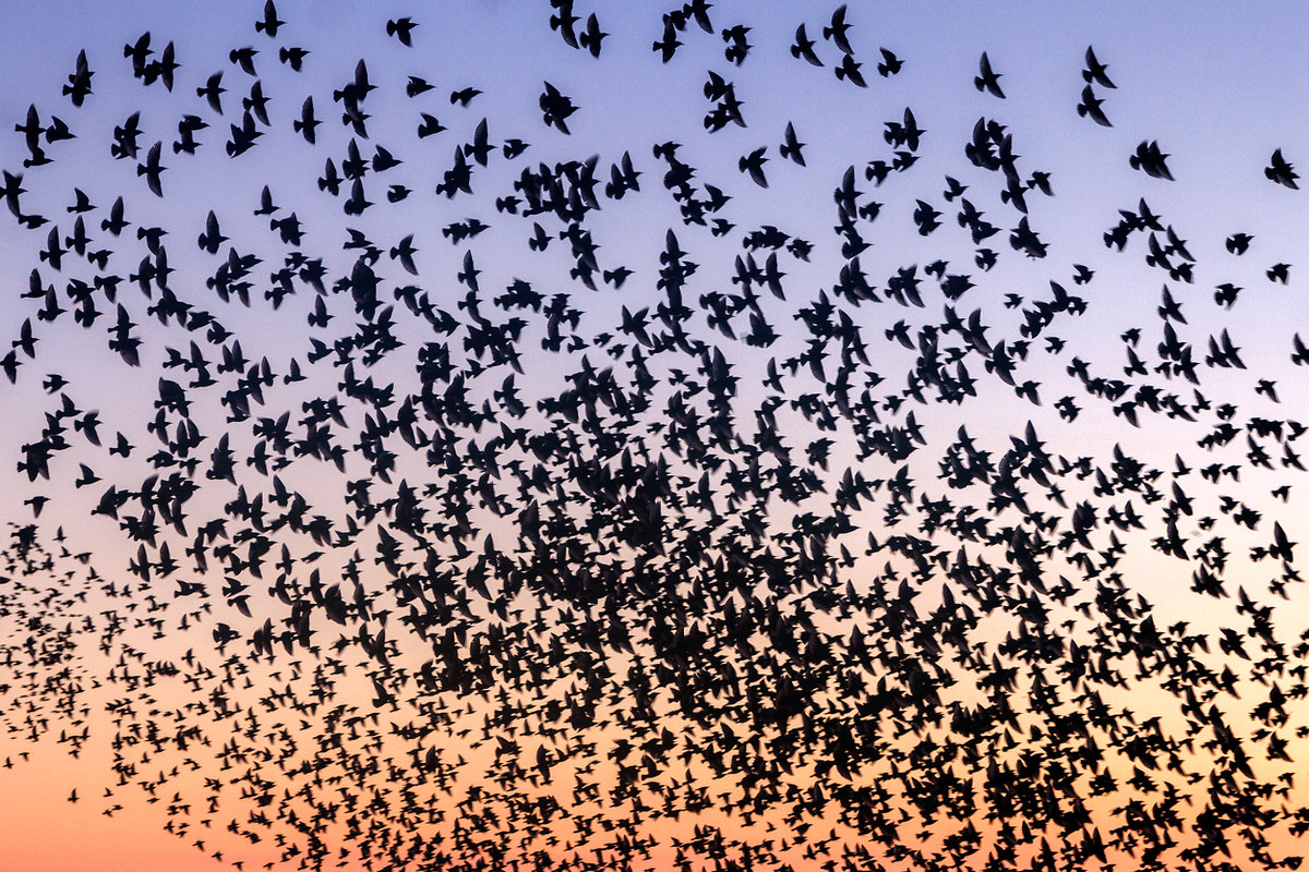 Counting Starlings By Yannick Dixon